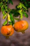 Pomegranades Royalty Free Stock Photos