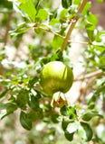 Pomegranat Immagine Stock