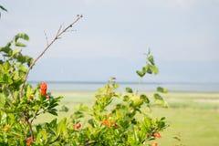 Pomegranat. Little pomegranats and pomegranat flowers Stock Images