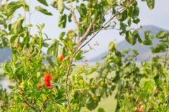 Pomegranat. Little pomegranats and pomegranat flowers Royalty Free Stock Photography