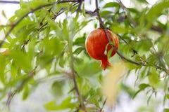 Pomegranate на вале Стоковое фото RF