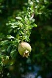 Pomegranate на вале Стоковое Фото
