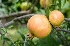 Pomegranate на вале Стоковое Изображение RF