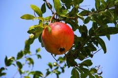 Pomegranate на ветви Стоковое Изображение