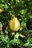 pomegranate плодоовощ вися Стоковое Изображение
