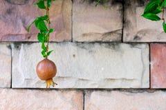 pomegranate плодоовощ показывая ся женщину Стоковая Фотография