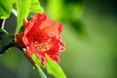 pomegranate цветка Стоковые Фото