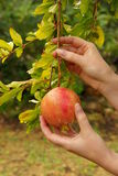 Pomegranate 12 Стоковое фото RF