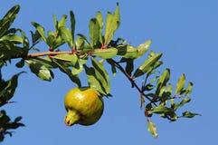 pomegranate Стоковые Изображения