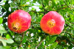 Pomegranate Royalty Free Stock Images