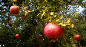 Pomegranate. A Tree of Pomegranate with mellow Fruits seen in Croatia Stock Images