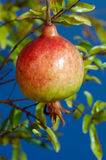 Pomegranate. A ripe pomegranate fruit hanging on the branch of its tree stock image