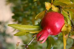 Pomegranate. Over the autumn branch Royalty Free Stock Images