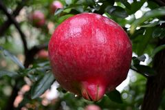 Pomegranate. Red pomegranate after rain on tree Royalty Free Stock Image