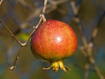 pomegranate Arkivfoton