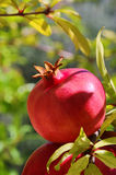 pomegranate Royaltyfria Bilder