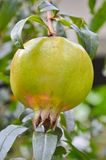 Pomegranate. Hanging from a tree Royalty Free Stock Photography