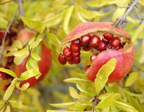 Pomegranate. Opened Pomegranate royalty free stock photography