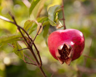 Pomegranate. With leaves and stamens Royalty Free Stock Images