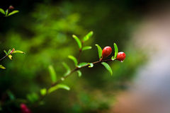 Pomegranate. Young small pomegranate on tree branch Stock Photography