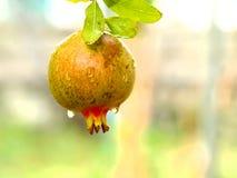 pomegranate Royaltyfri Foto