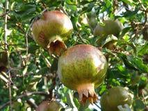 pomegranate Стоковые Фотографии RF