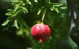 Pomegranate at the Alhambra Royalty Free Stock Photo