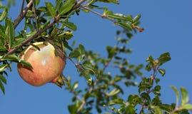 pomegranate bis Стоковая Фотография RF