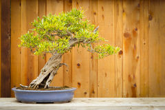 Pomegranate Bonsai Tree Against Wood Fence stock images