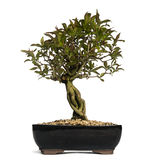 Pomegranate bonsai tree, Punica granatum, isolated Royalty Free Stock Photography
