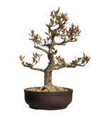 Pomegranate bonsai tree, Punica granatum, isolated Stock Images