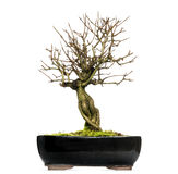 Pomegranate bonsai tree, Punica granatum, isolated. On white Stock Photo