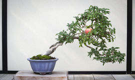 Pomegranate Bonsai Tree royalty free stock photo