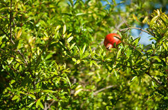 Pomegranate on a branch Royalty Free Stock Photo