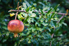 Pomegranate on branch Royalty Free Stock Images