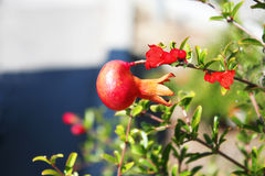 Pomegranate on branch Stock Photos