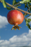 Pomegranate on branch. Against cloudy blue sky Stock Photos