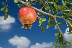 Pomegranate on branch. Against cloudy blue sky Royalty Free Stock Photo