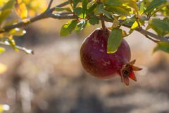 Pomegranate. On branch back lit with blurred background stock photo