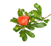 Pomegranate branch with flower Stock Photos