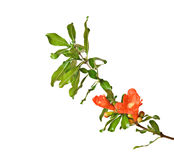Pomegranate branch with flowers Stock Images