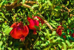 Pomegranate Branch Royalty Free Stock Image
