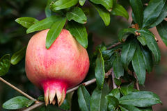 Pomegranate on branch. Ripe pomegranate on branch growing Stock Photo