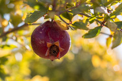 Pomegranate. A Pomegranate on the branch of it's tree with bokeh background royalty free stock photo