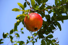 Pomegranate on branch. Pomegranate on branch of tree, Croatia Stock Image