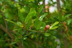 Pomegranate Bud stock photos