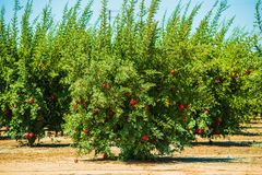 Pomegranate Cultivation Stock Photography