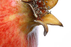 Pomegranate detail 7. Studio macro of a pomegranate flower Stock Images
