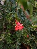 Pomegranate& x27; flor de s imagem de stock royalty free