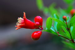 Pomegranate flower royalty free stock image